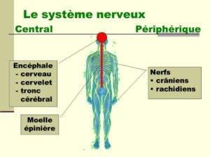 systeme central et périphérique important dans les découvertes en neurosciences